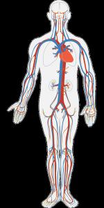 In der Ausbildung zum klinischen Monitor lernt man die Anatomie des menschlichen Körpers.