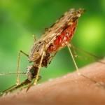 Sein größtes Wissen über Malaria hat sich Christof in der Promotionszeit angeeignet, z. B. über die weibliche Anopheles-Mücke, den Übertrager des Erregers der Malaria. (Foto: pixabay.com)